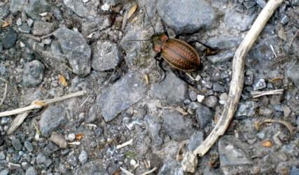 Käfer am Leopoldsberg, Wien