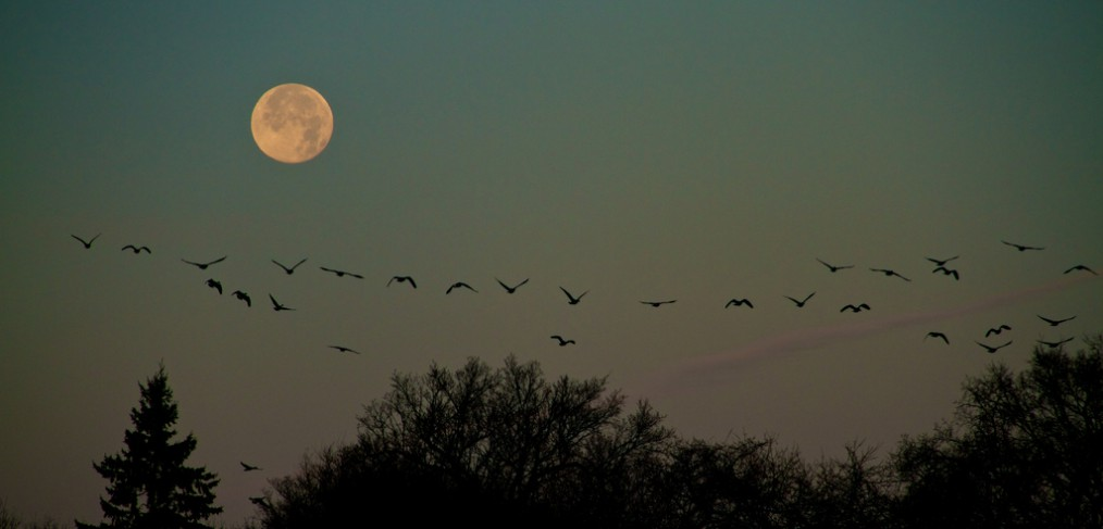 Geese against the moon