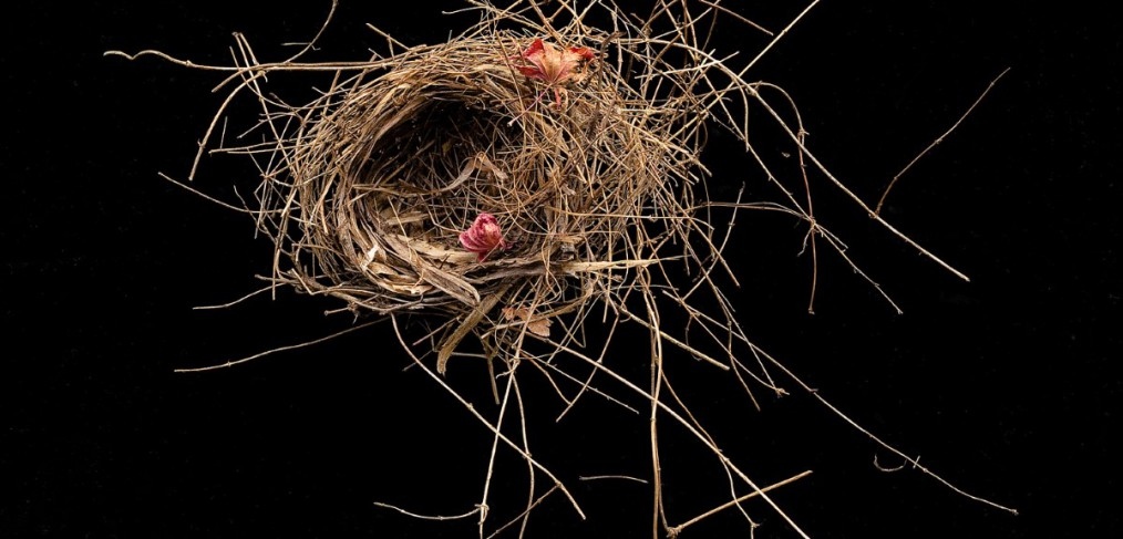 Bird nest from japanese cherry
