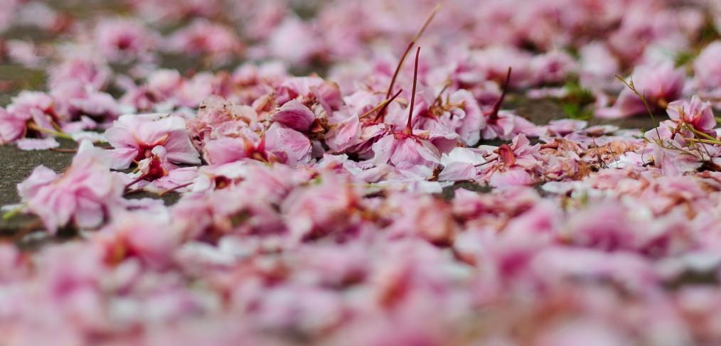 Fallen blossoms
