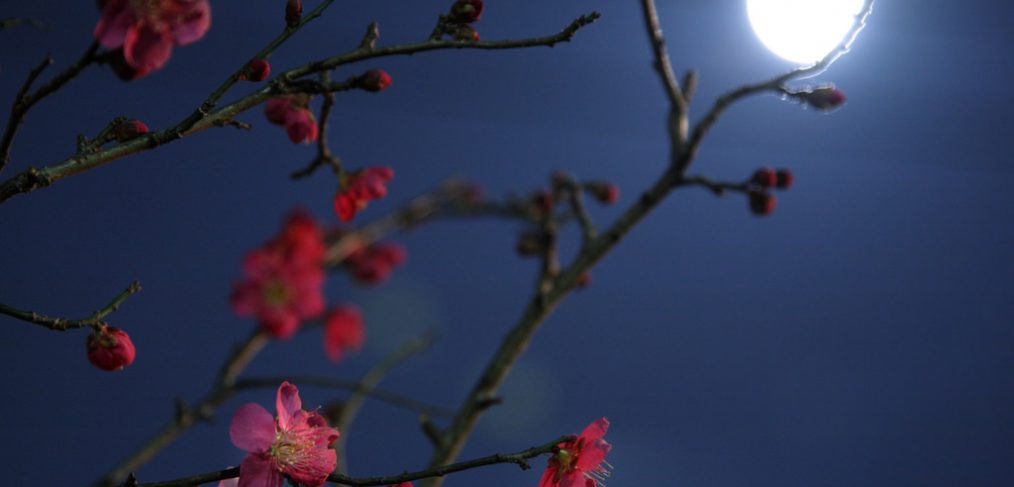 Moonlight Plum Blossom