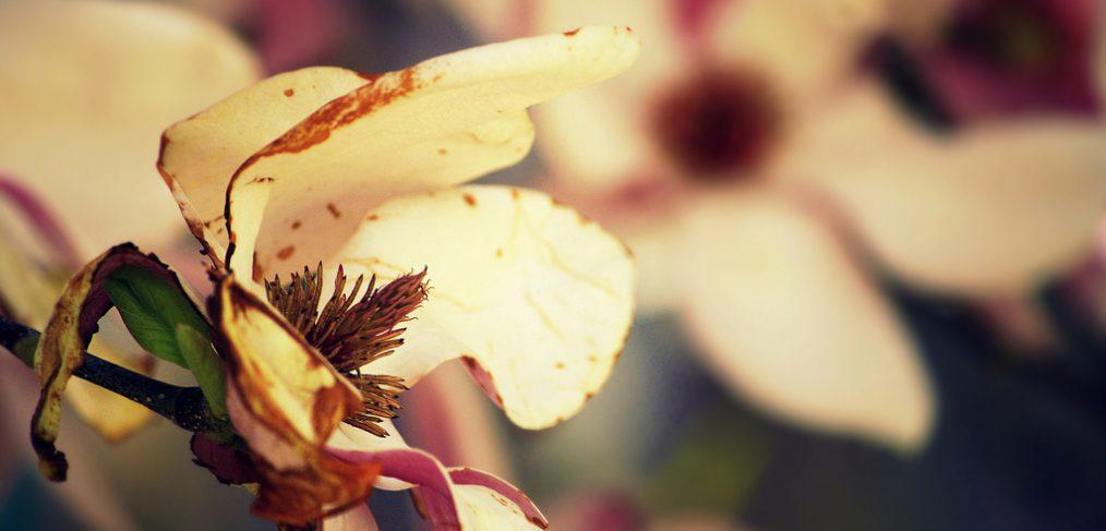 Dying Magnolia