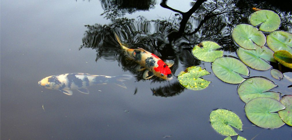 Koi and Reflection