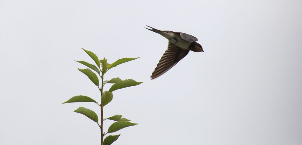 young swallow fly