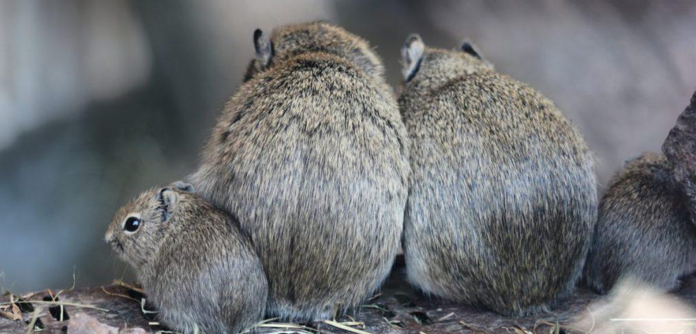 Mäuschen Familie
