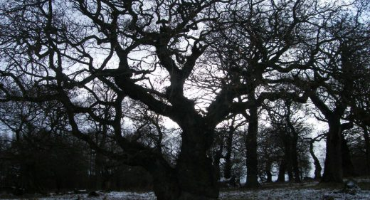 Ancient oak